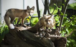 Fox parent and kit, June 2014