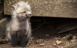 Fox Kit - April 2014-0254