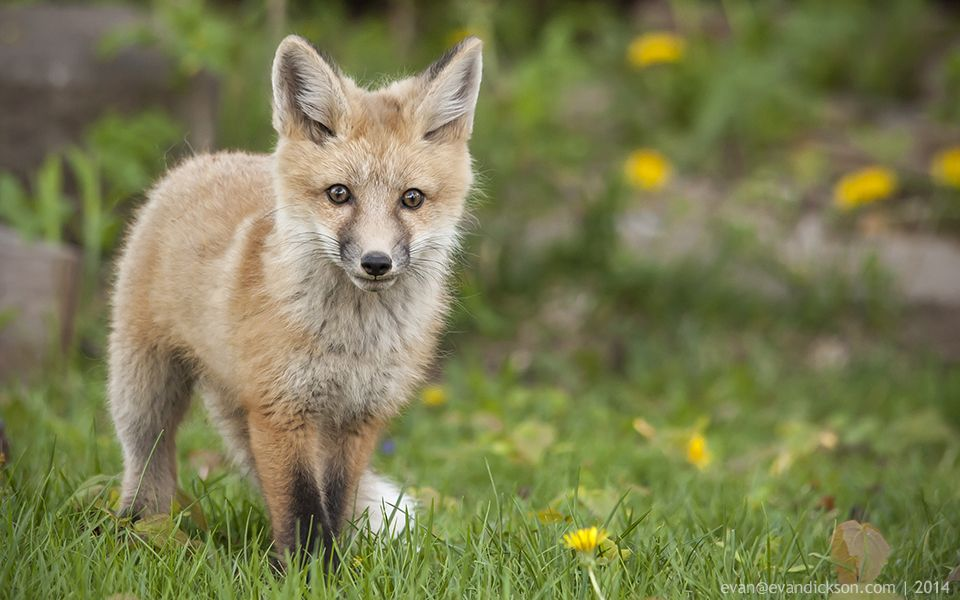 Evan-Dickson-Foxes-June-2014-0522.jpg